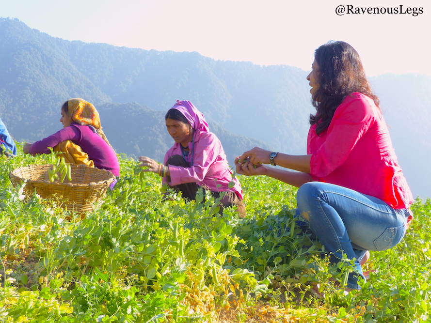 Green Peas Harvest in The Goat Village, Nag tibba