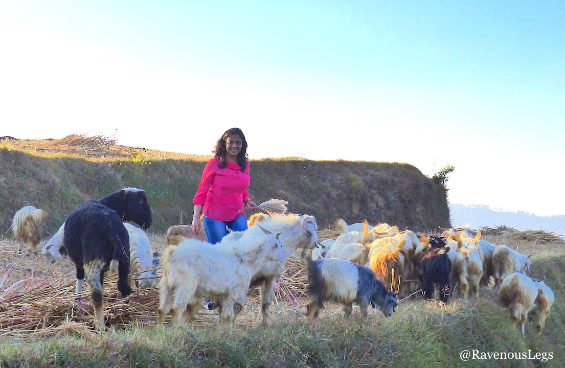 Grazing goats at The Goat Village, Nag tibba