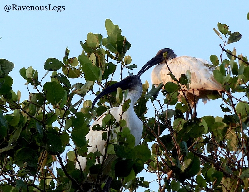 Black headed IBIS at Salim Ali Bird Sanctuary