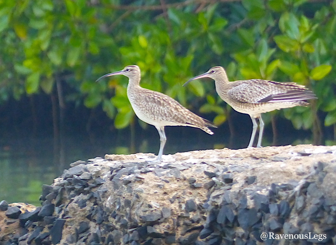 Whimbrels found at Salim Ali Bird Sanctuary
