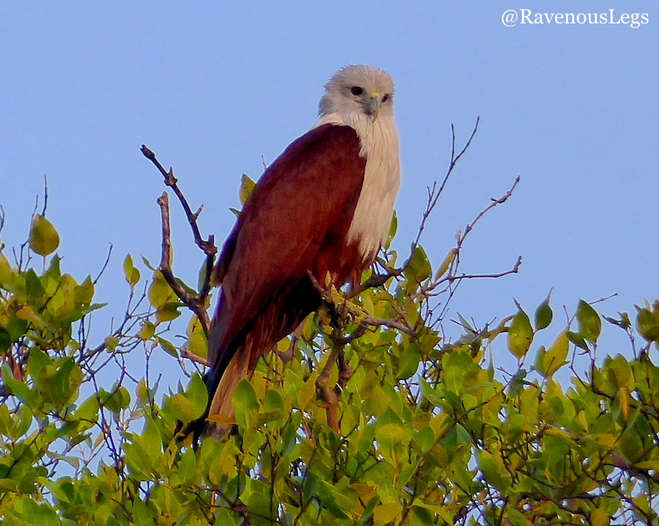 Brahminy Kite at Salim Ali Bird Sanctuary
