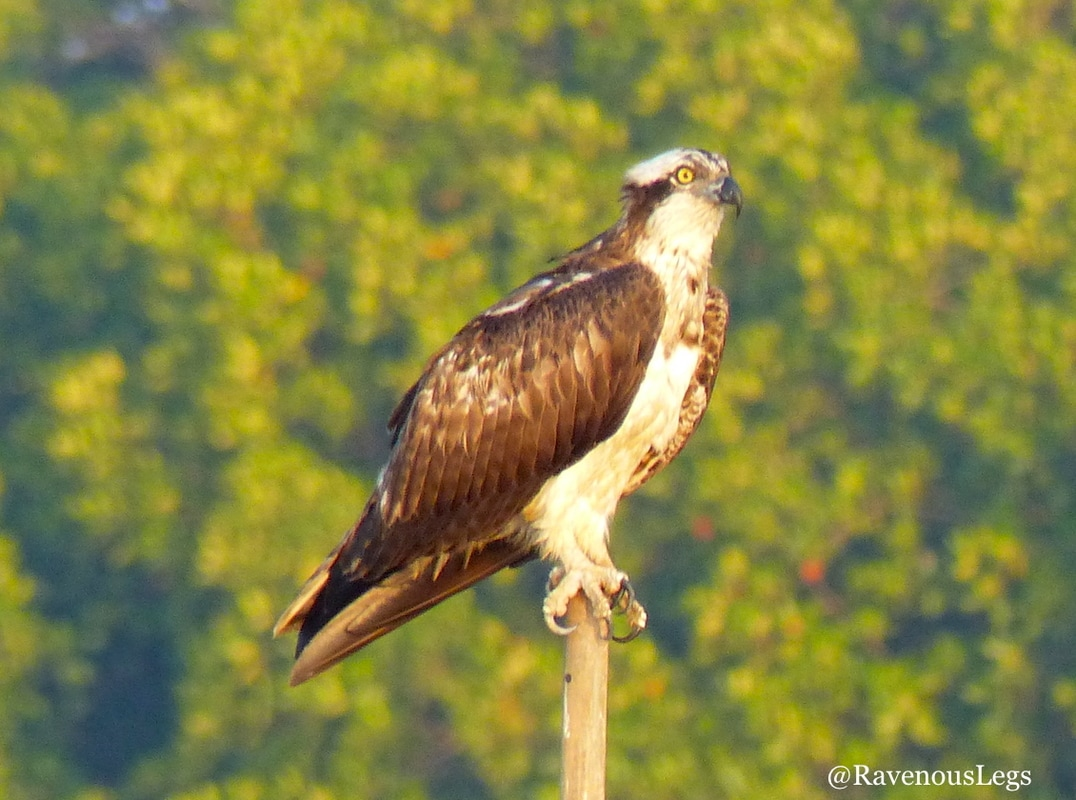 Osprey at Salim Ali Bird Sanctuary