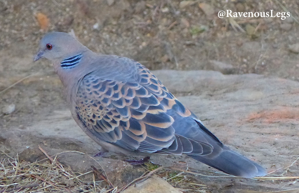 Turtle Dove in Uttarakhand